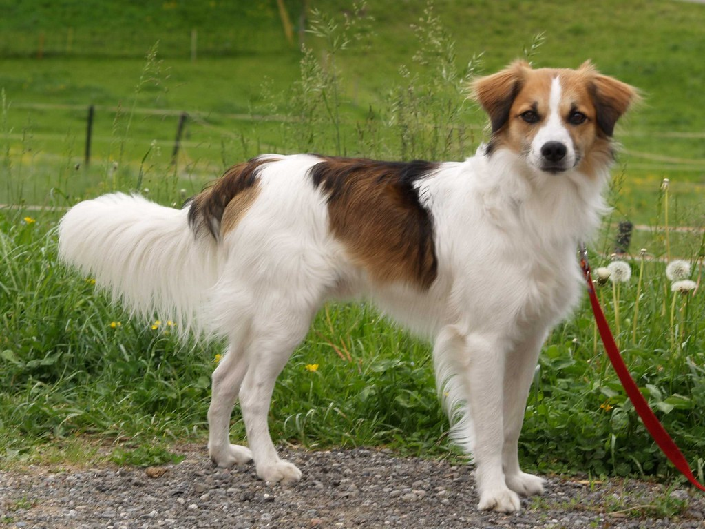 Herder Dog Pictures